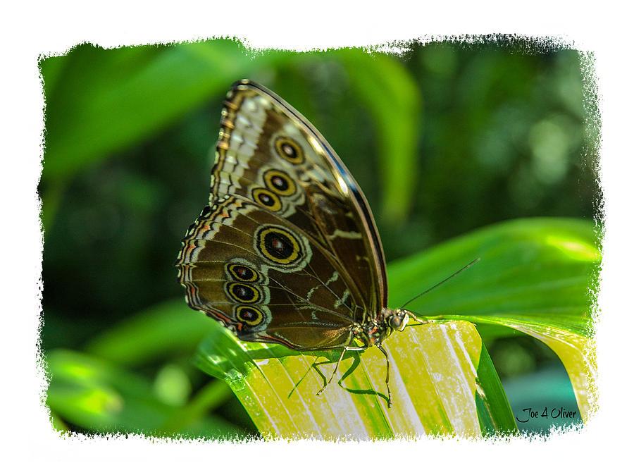 Butterflies Photograph by Joe Oliver