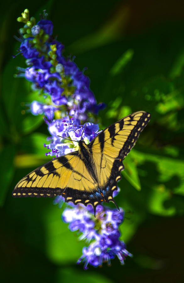 Swallowtail Photograph - Butterflly Bush And The Swallowtail by Sandi OReilly