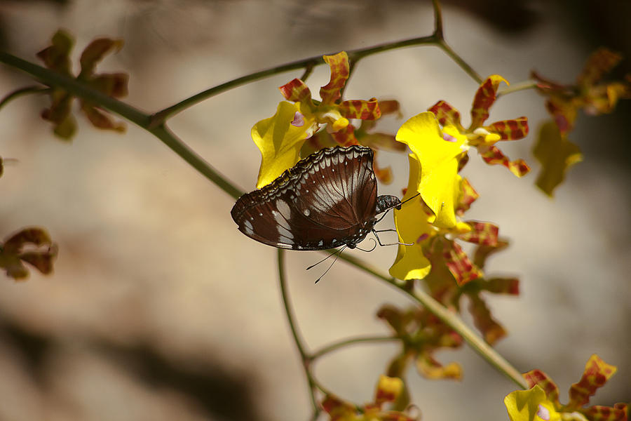 Flowers Photograph - Butterfly 3 by Michael Guirguis