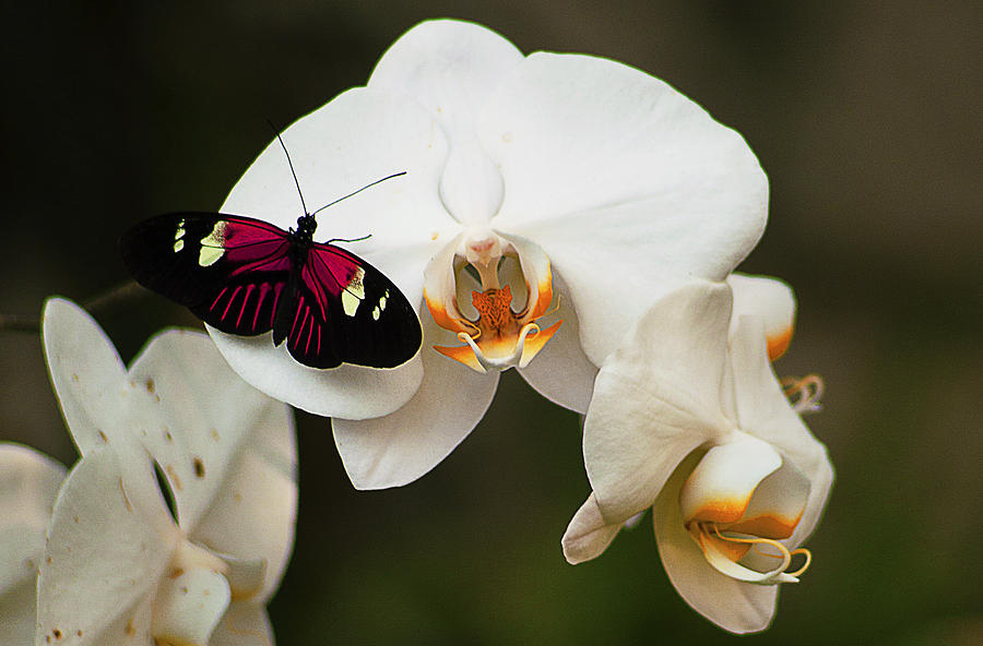 Flowers Photograph - Butterfly 4 by Michael Guirguis