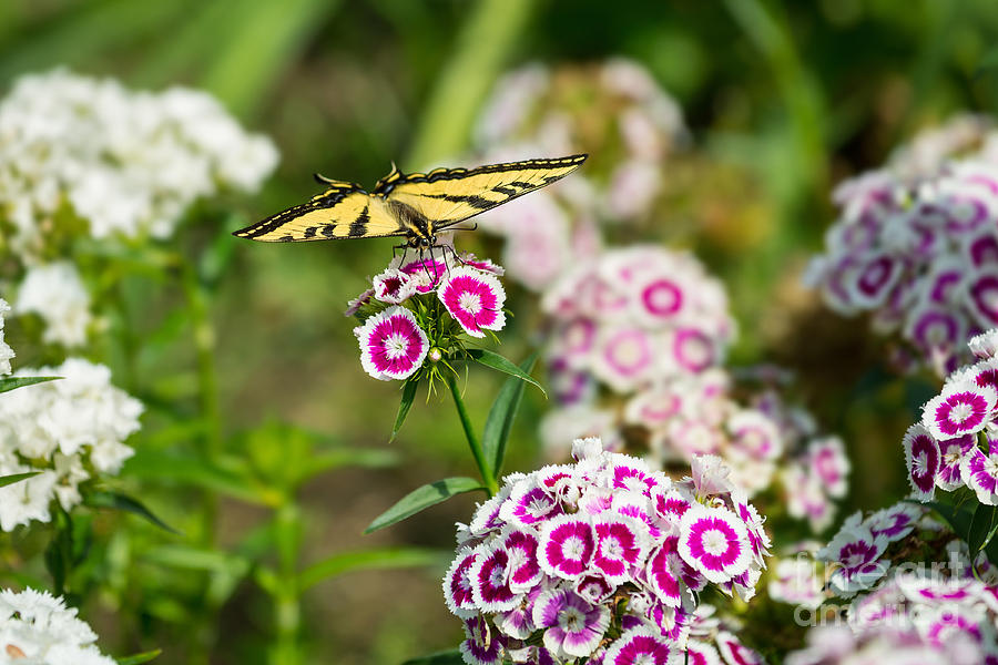 Butterfly And Bloom Beautiful Spring Flowers And Tiger Swallowtail