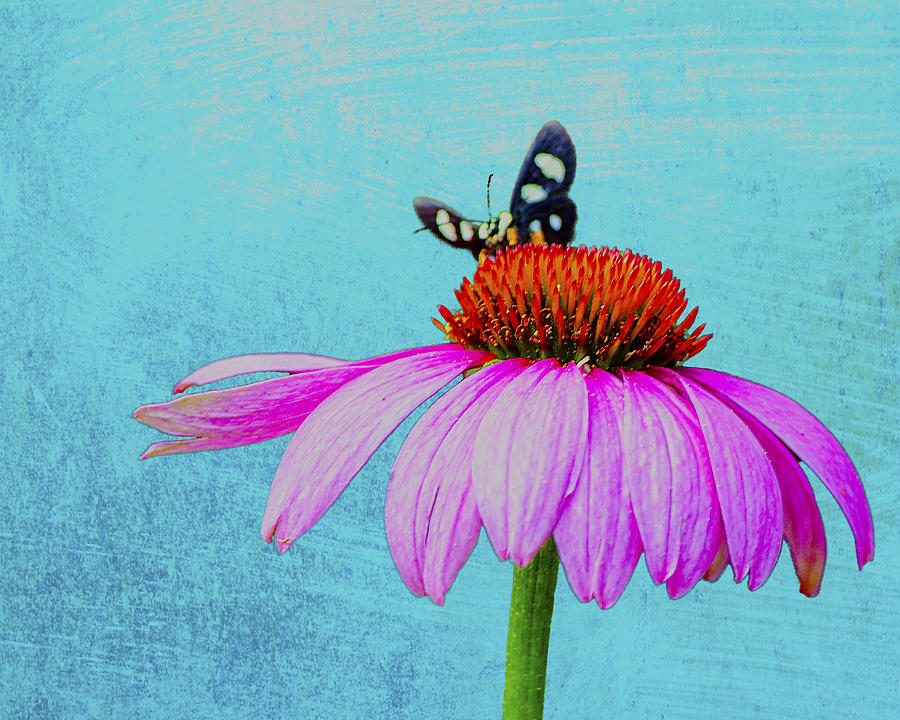 Coneflower Photograph - Butterfly And Coneflower On Turquoise by Dan Holland