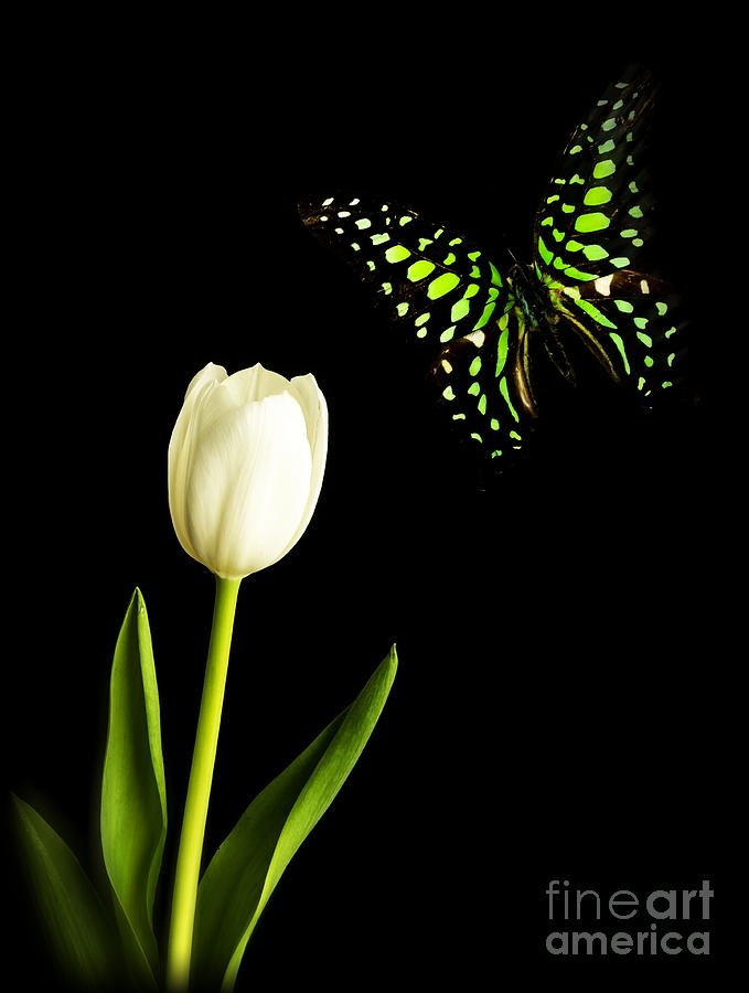 Tulip Photograph - Butterfly And Tulip by Edward Fielding