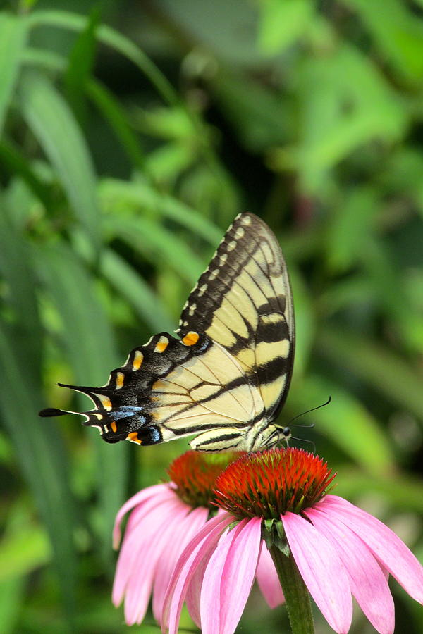 Yellow Swallowtail Photograph - Butterfly by Andrea Dale