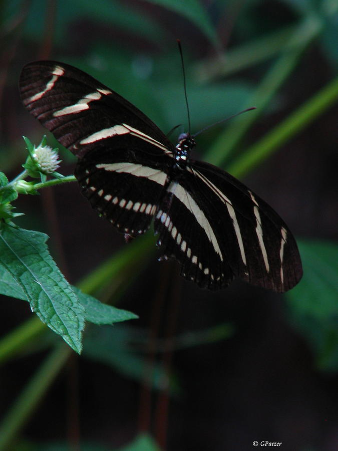 Zebra Butterfly Photograph - Butterfly Art 2 by Greg Patzer