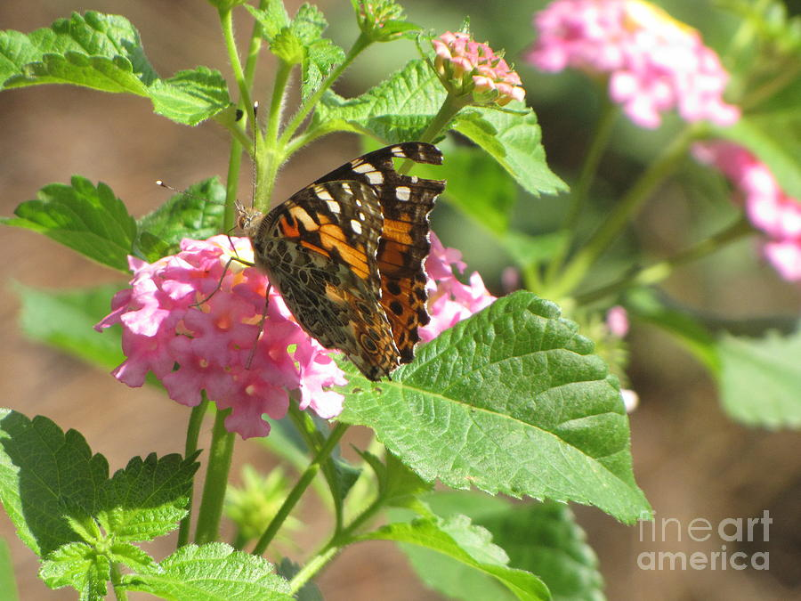 Butterfly Photograph - Butterfly Bloom by Gayle Melges