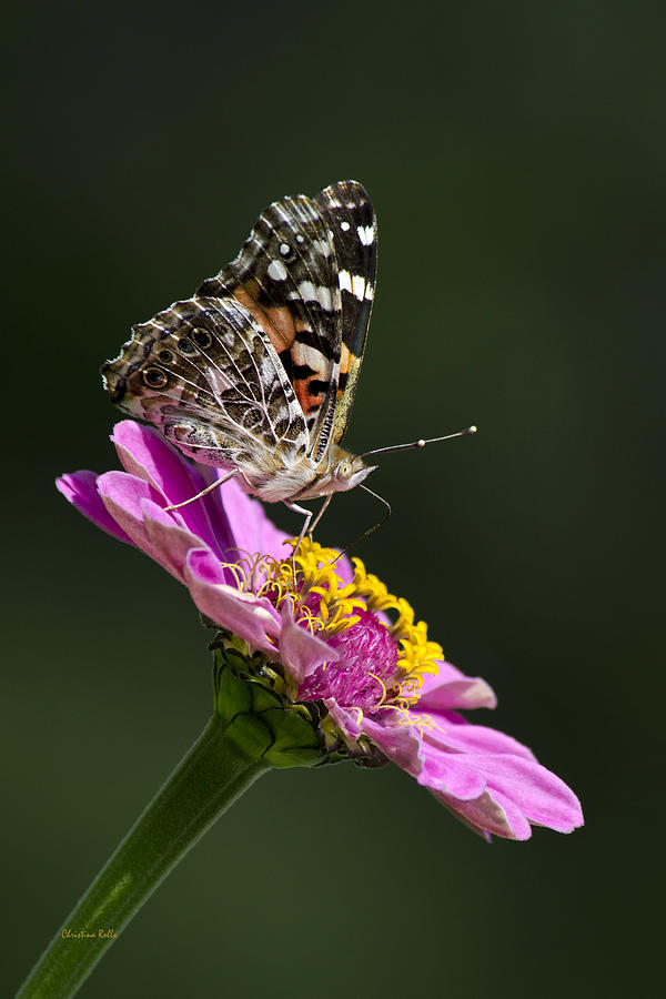 Animal Photograph - Butterfly Blossom by Christina Rollo