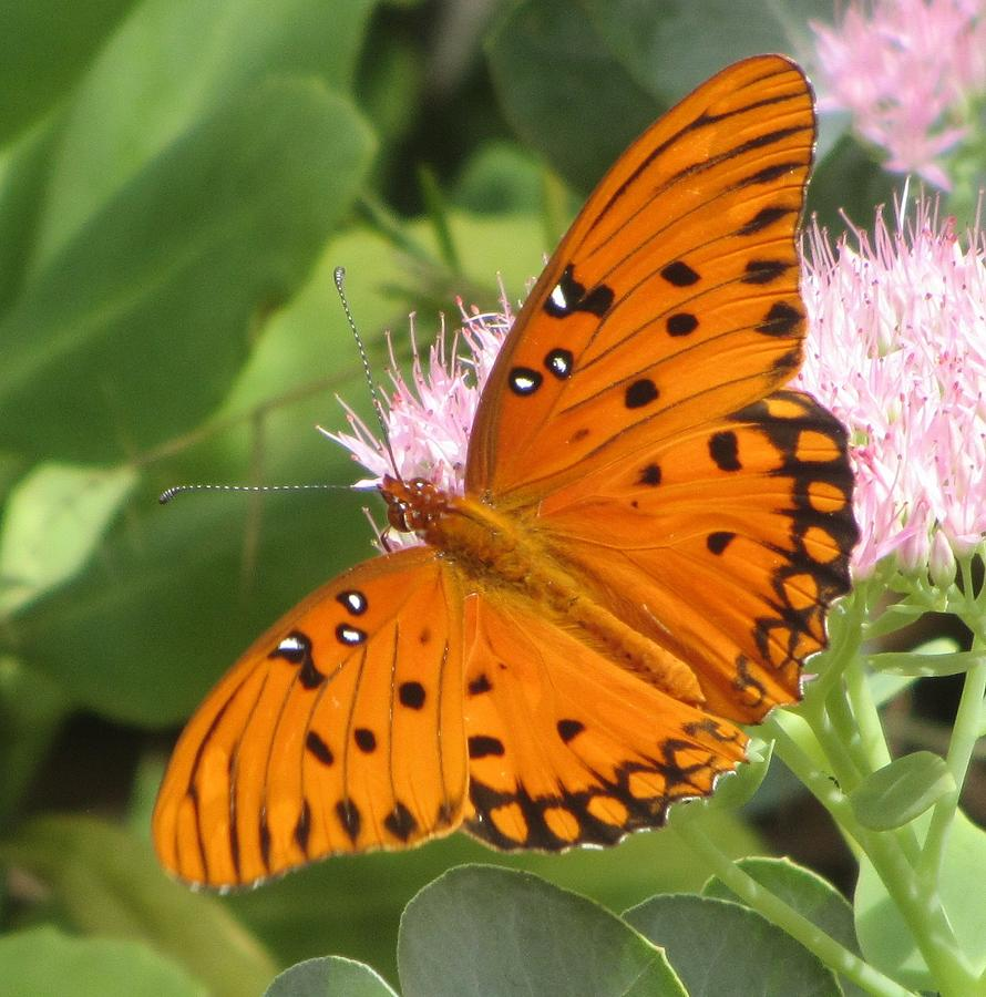 Butterfly Photograph - Butterfly Butterfly 2  by Cathy Lindsey