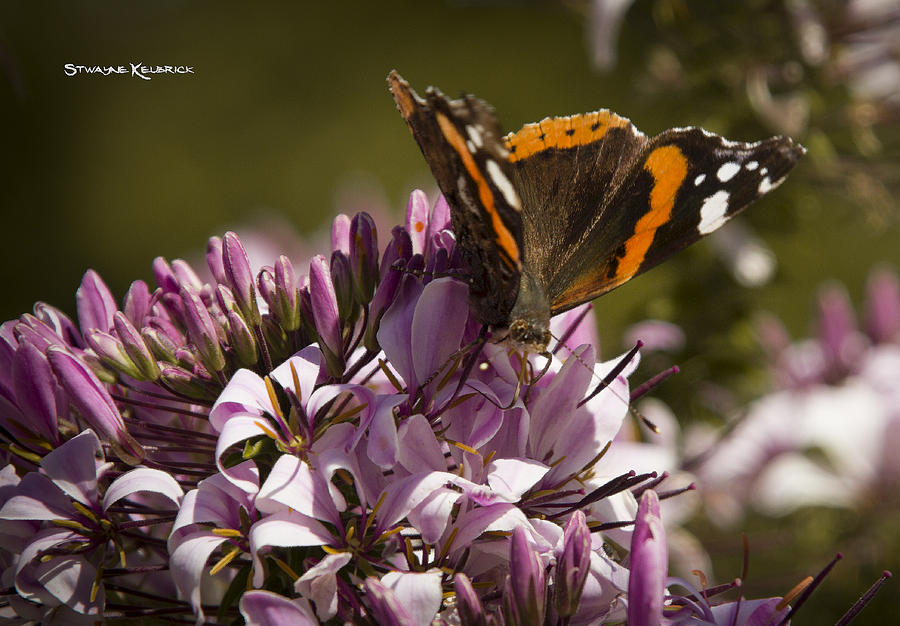 Butterfly Photograph - Butterfly close up by Stwayne Keubrick