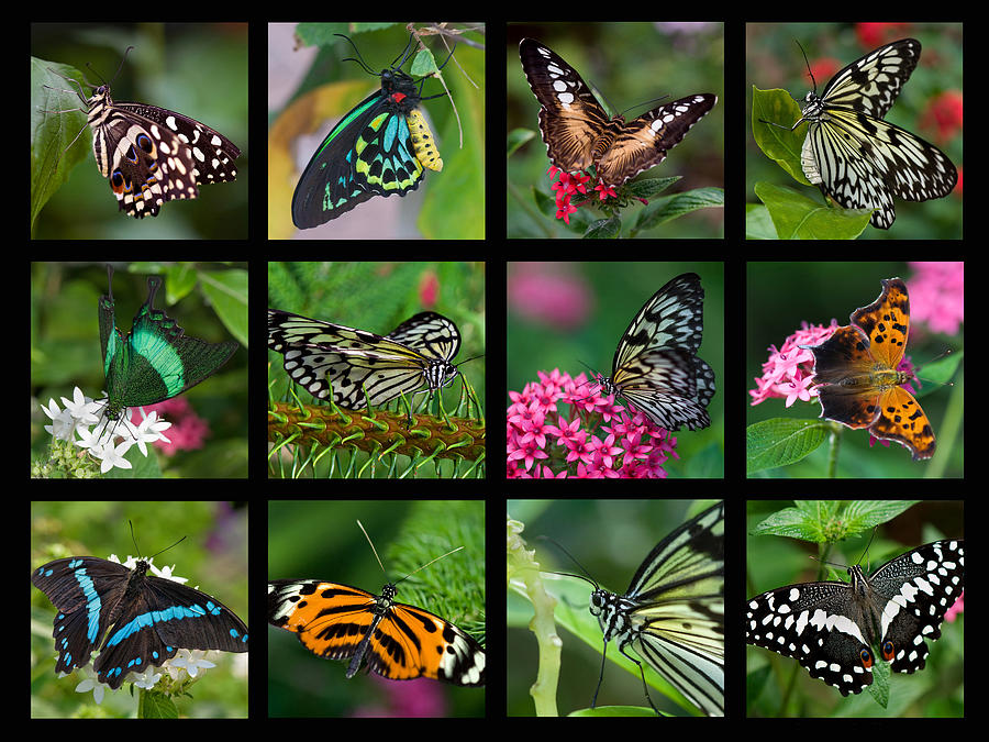 Butterfly Collage Photograph By Joann Vitali