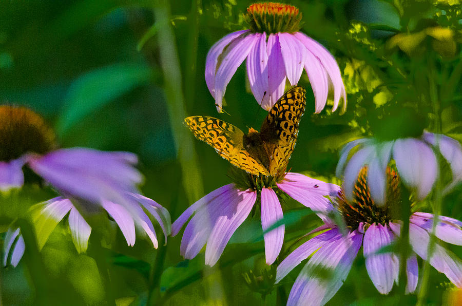 Butterfly Cone Flowers Photograph