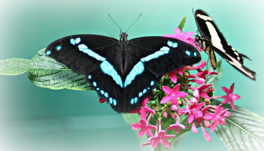 Butterflies Photograph - Butterfly Duo by Barbara S Nickerson