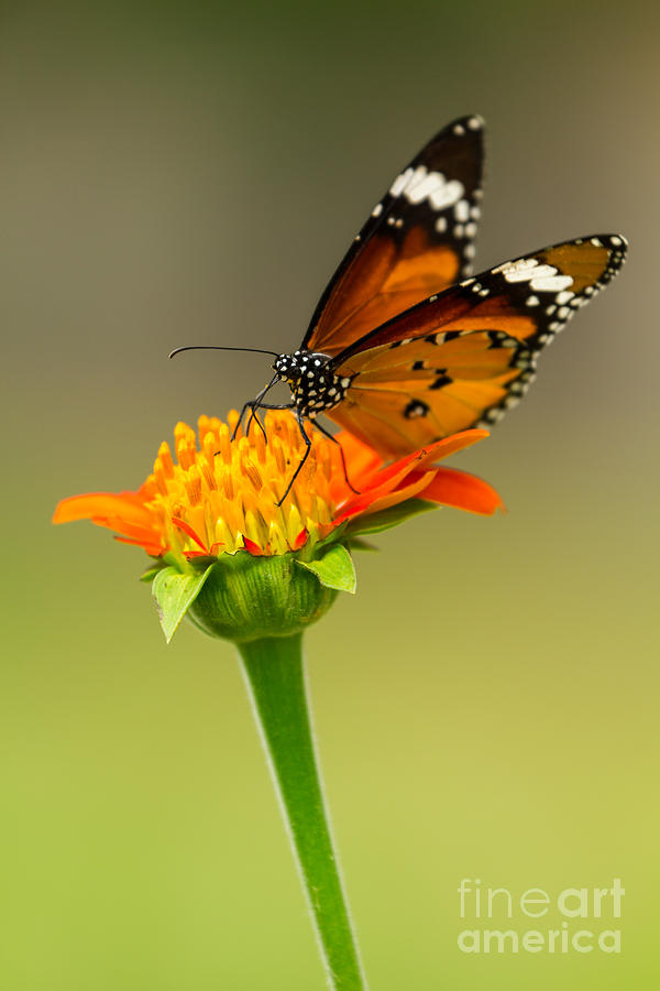 Action Photograph - Butterfly Feeding by Tosporn Preede