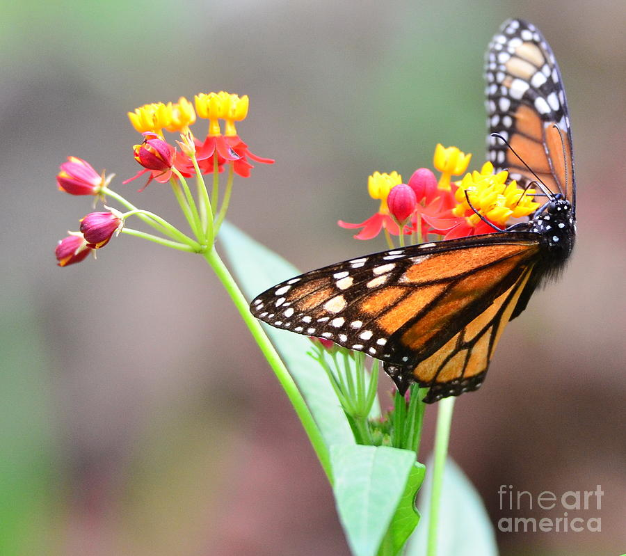 Butterfly Photograph - Butterfly Flower - Gossamer Wings Embrace Candy Blossoms by Wayne Nielsen