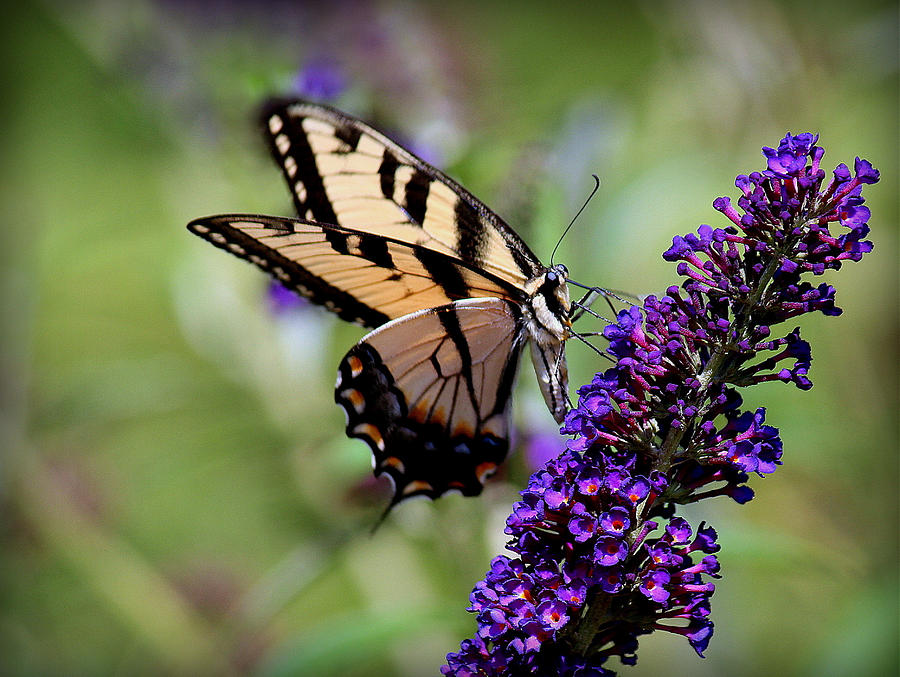 Butterfly Flowers That Fly Photograph By Rosanne Jordan