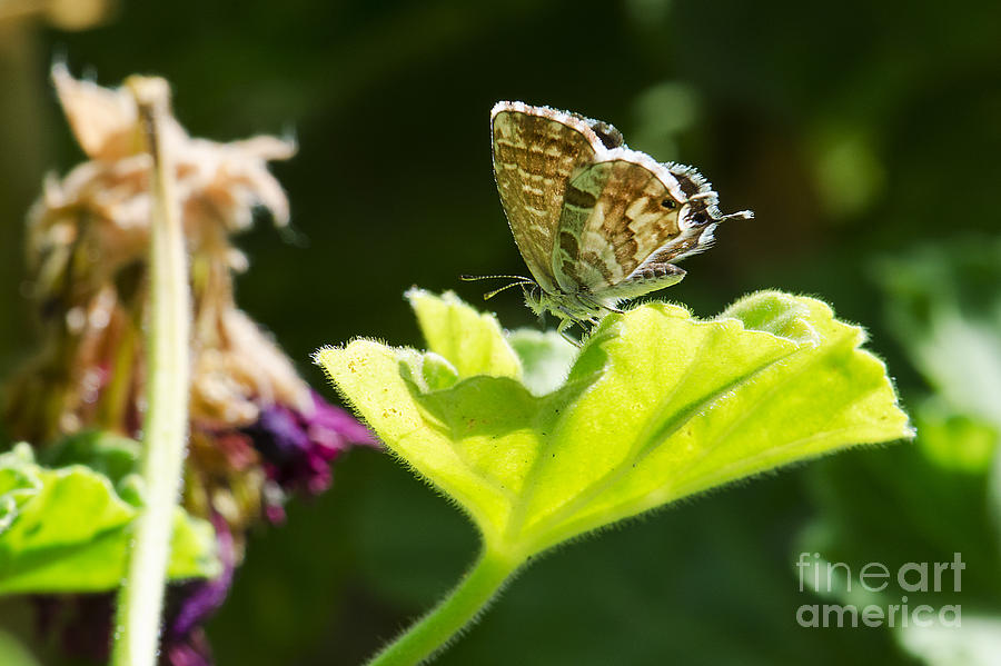 Butterfly Photograph - Butterfly by Giovanni Chianese