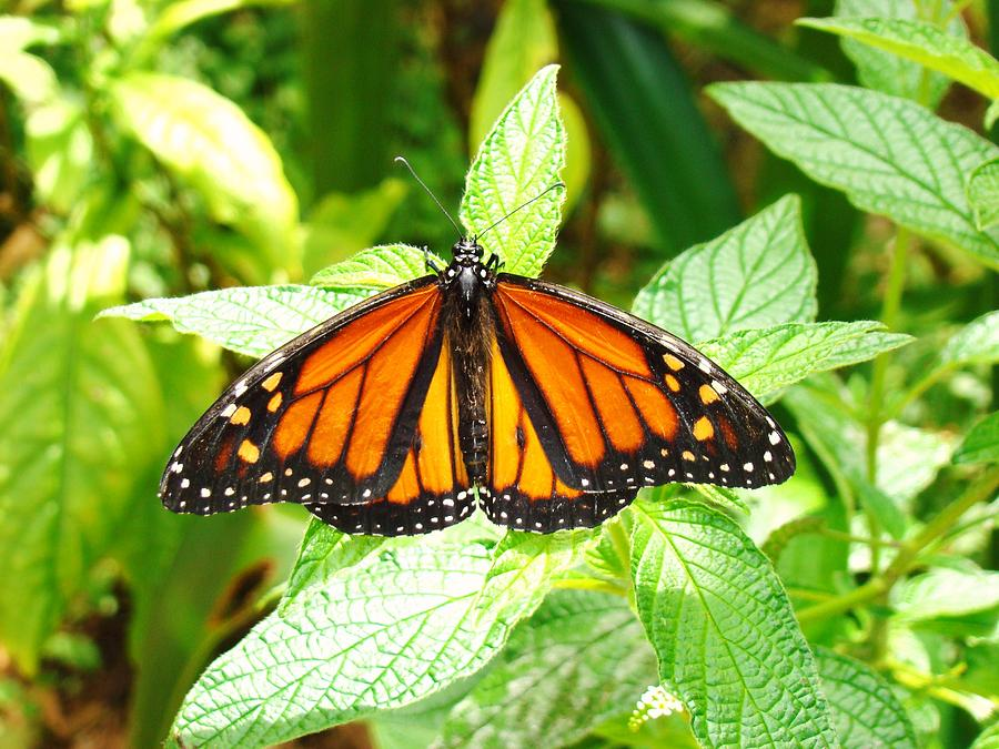 Seminole Photograph - Butterfly In The Plants by Van Ness