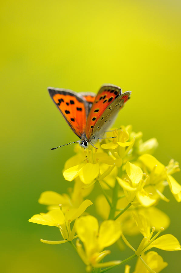Butterfly In Yellow Flowers Photograph by Myu-myu