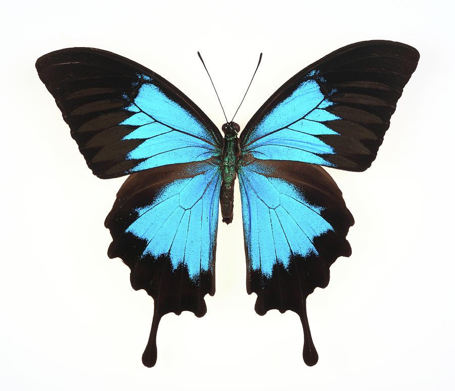 Butterfly Isolated On Whiteulysses Photograph by Real444