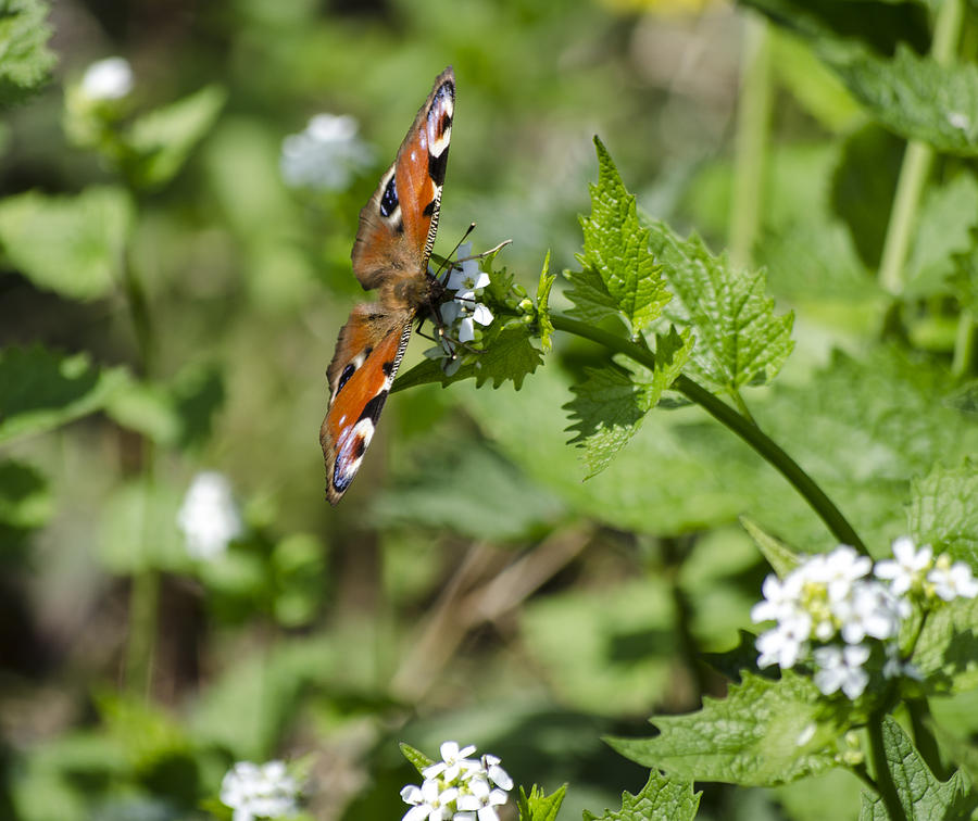 Butterfly Photograph - Butterfly by Spikey Mouse Photography