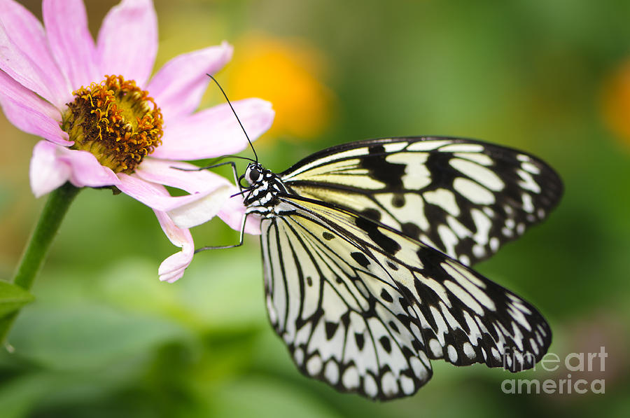 Butterfly Landing On Zinnia Photograph By Oscar Gutierrez