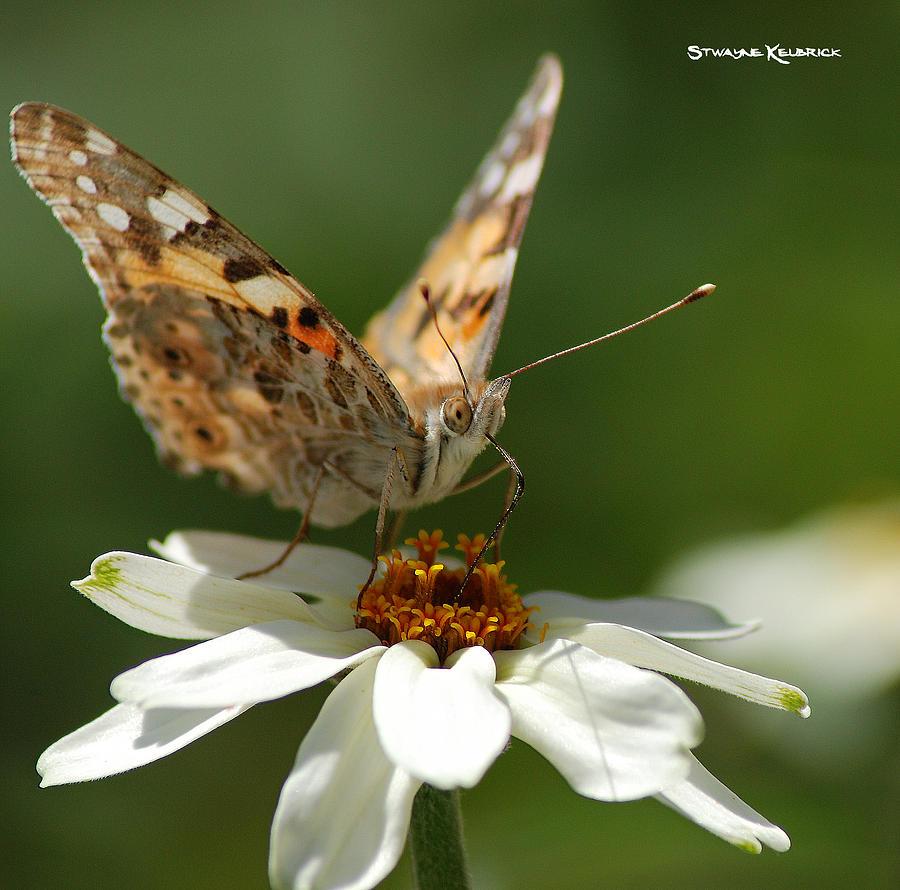 Butterfly Photograph - Butterfly macro photography by Stwayne Keubrick