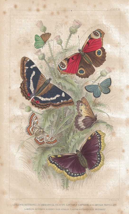 Butterfly Old Lithographic Print From Digital Art by Lusky