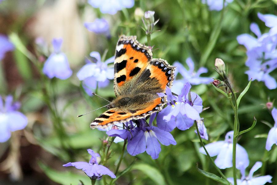 Butterfly Photograph - Butterfly On Blue Flower by Gordon Auld
