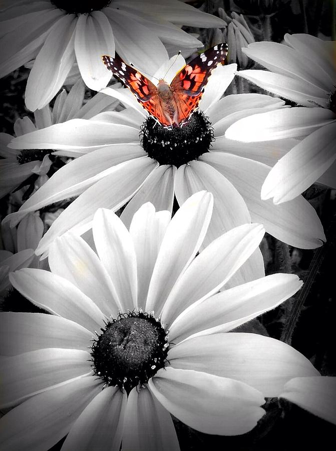 Butterfly on Brown Eyed Susan by Mark Robert Bein