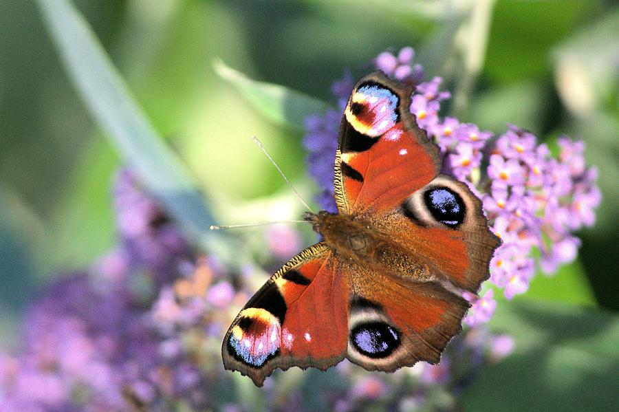 Butterfly Photograph - Butterfly On Buddleia by Gordon Auld