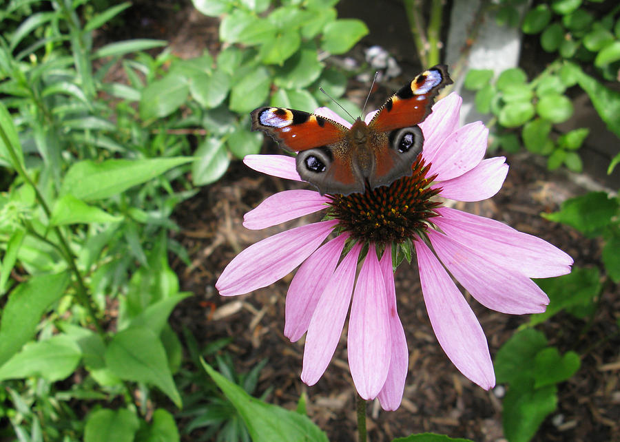 Butterfly on Echinacea by Helene U Taylor