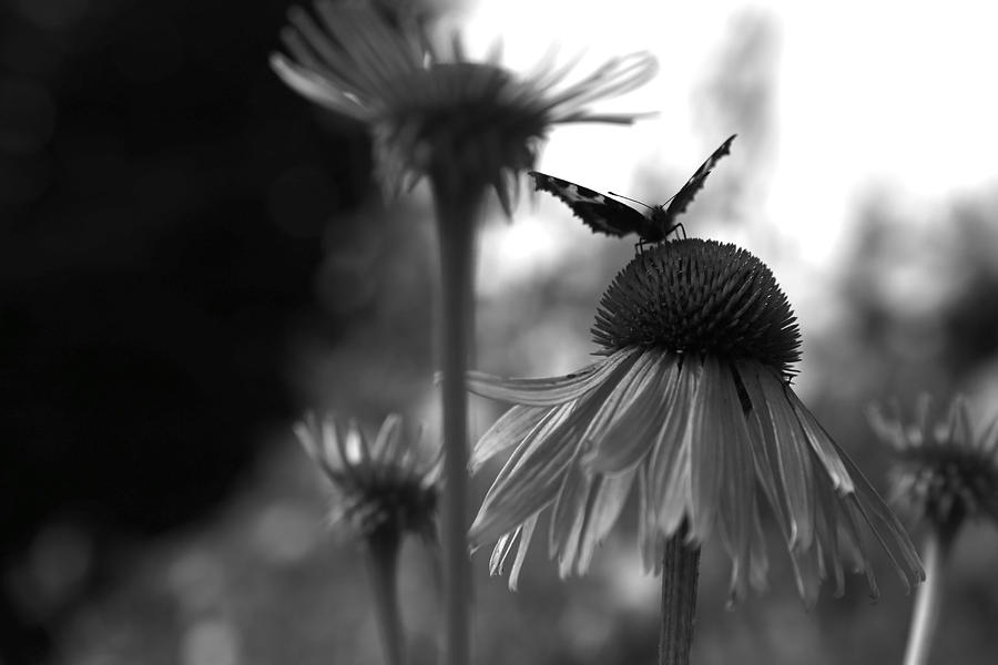 Monochrome Photograph Photograph - Butterfly On Echinacea by Maeve O Connell