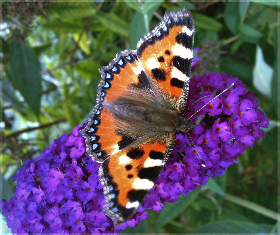 Photo Photograph - Butterfly On Flower by Beril Sirmacek