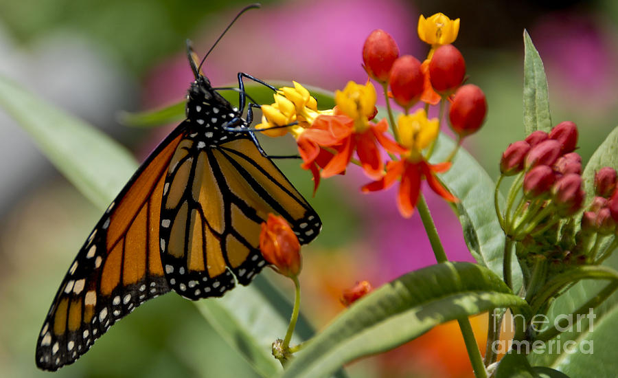 Butterfly On Flowers Photograph