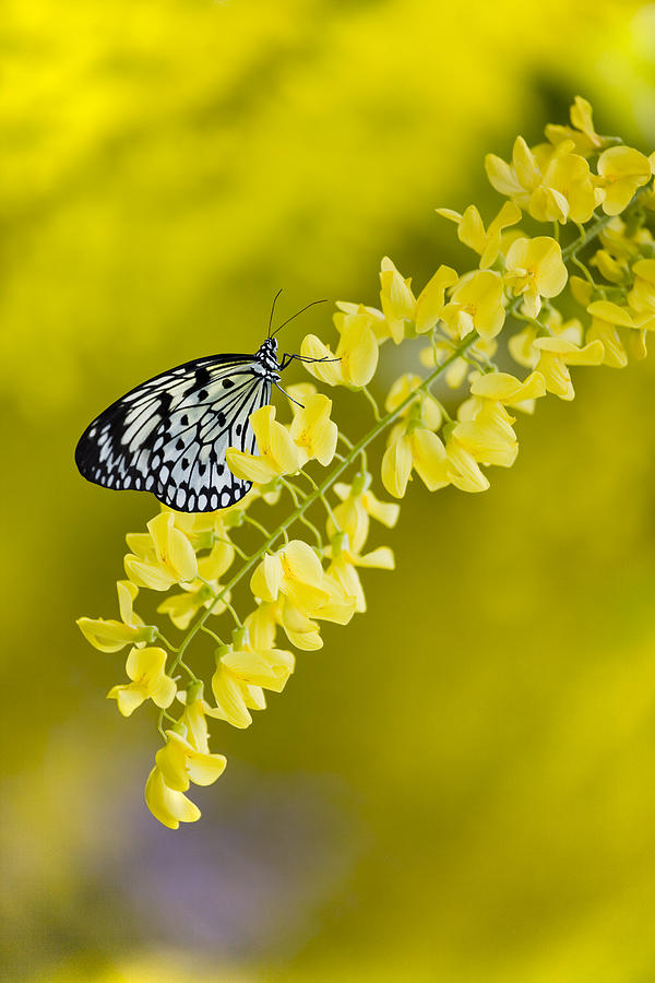 Laburnum Photograph - Butterfly On Laburnum by Gillian Dernie
