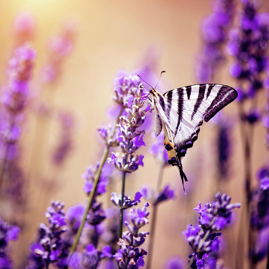 Butterfly On Lavender Photograph by Artmarie