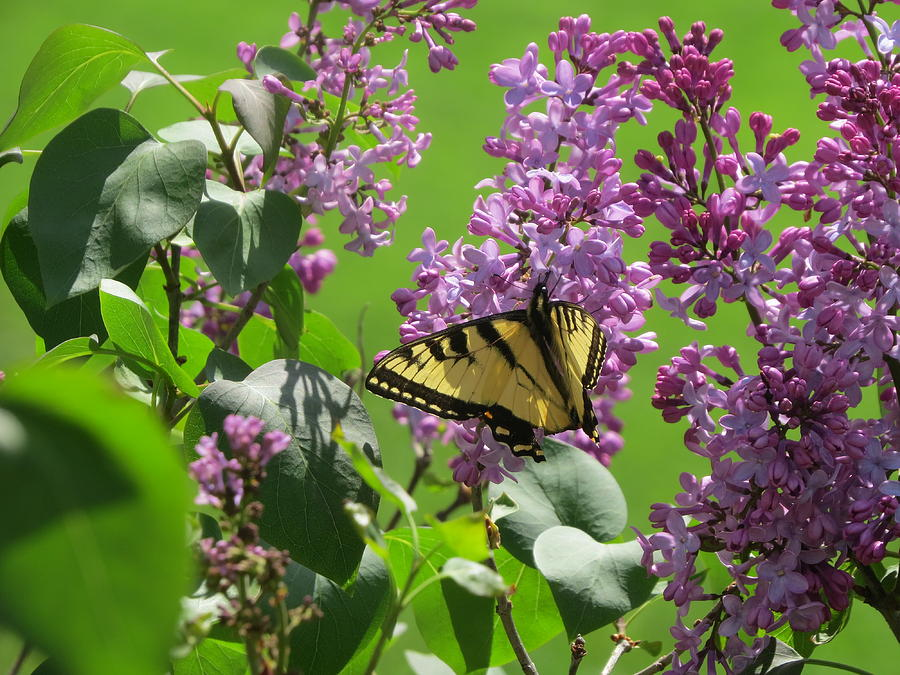 Butterfly Photograph - Butterfly On Lilac by Diane Mitchell