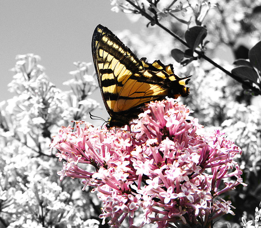 Flower Photograph - Butterfly On Lilac by Mellisa Ward