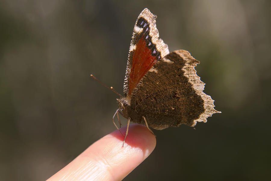 Butterfly Photograph - Butterfly On My Finger by Peggy Collins