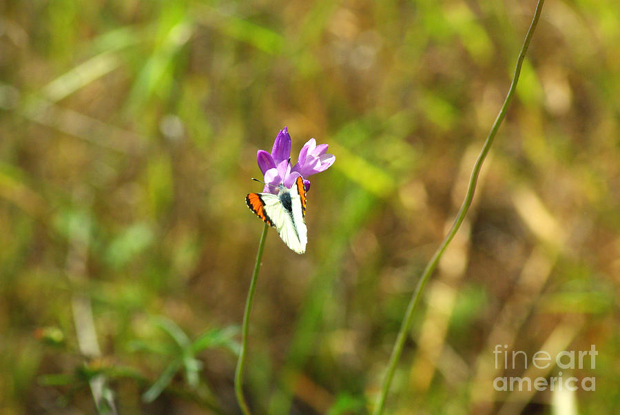 Butterfly Photograph - Butterfly On Purple 1.2608 by Stephen Parker