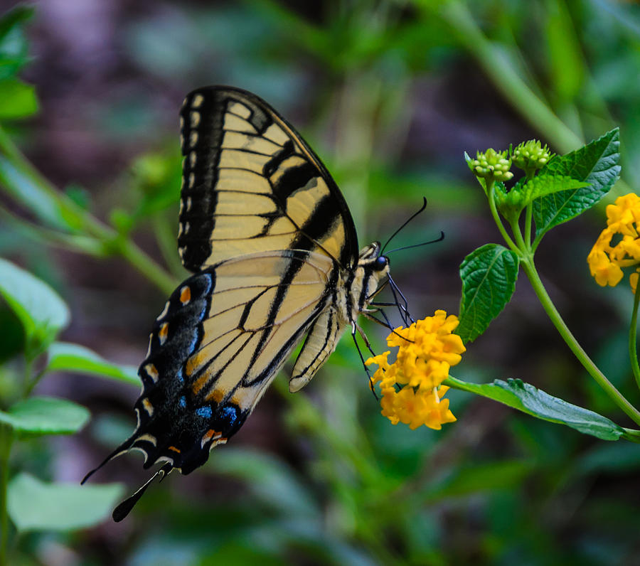 Yellow Butterfly Photograph - Butterfly On Yellow Flower by Don L Williams