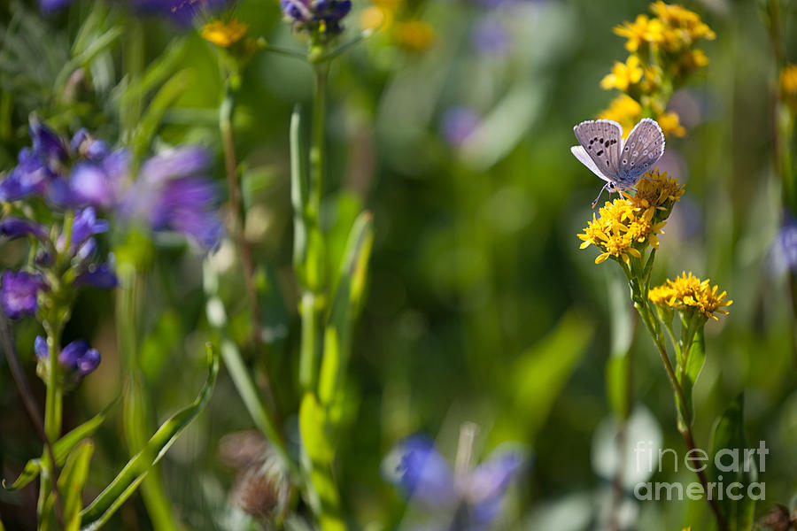 Butterfly on Yellow Wildflowers by Cindy Singleton