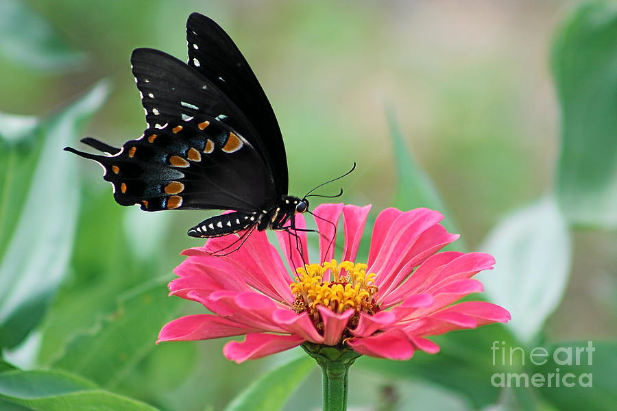 Flowers Photograph - Butterfly On Zinnia by Gayle Miller