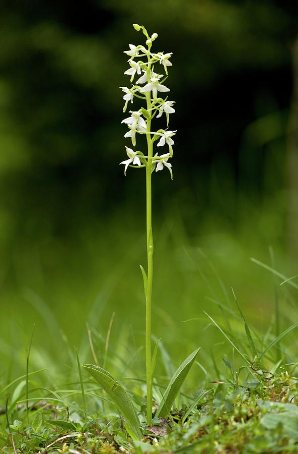Europe Photograph - Butterfly-orchid (platanthera Bifolia) by Bob Gibbons