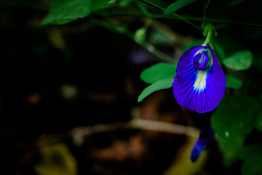 Butterfly Pea Photograph - Butterfly Pea Singapore Flower by Donald Chen