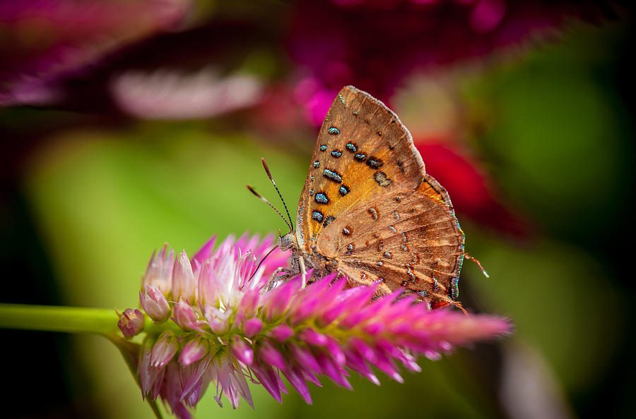 Butterfly Photograph - Butterfly Pink Sparkle  by Isabel Laurent