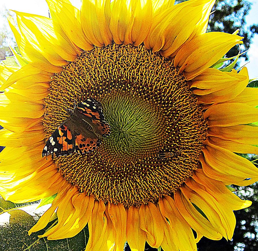 Sunflower Photograph - Butterfly Sunflower by MTBobbins Photography