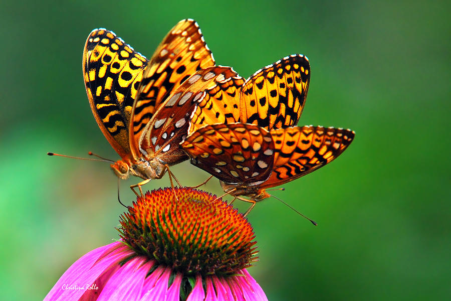 Butterflies Photograph - Butterfly Twins by Christina Rollo