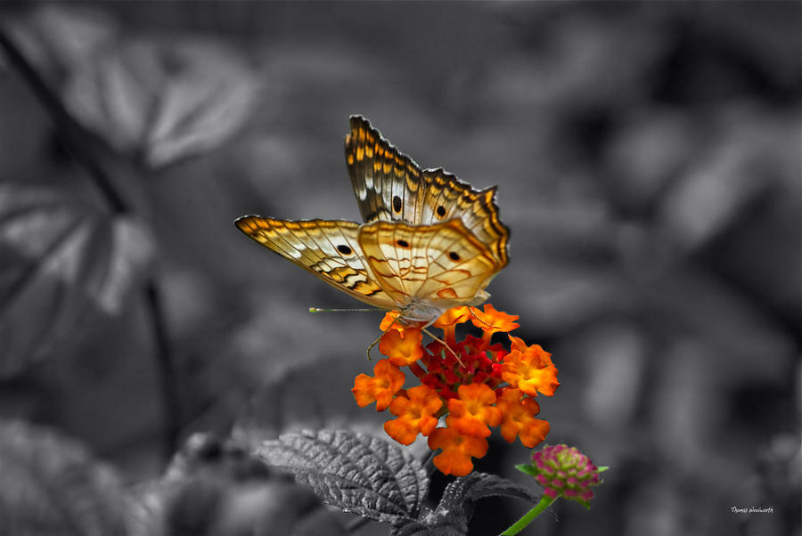 Il Photograph - Butterfly Wings Of Sun Light Selective Coloring Black And White Digital Art by Thomas Woolworth