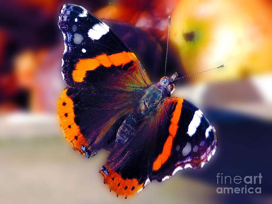 2013 Photograph - Butterfly With Apple by Elvira Ladocki